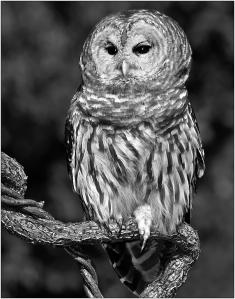 web 12 Owl on Its Perch #2c [100ppi 603x768 V Mono]
